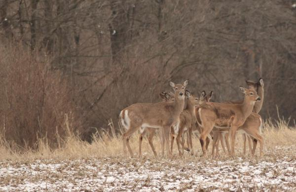 Earlier this month, Fish, Wildlife and Parks euthanized a white tailed buck displaying symptoms of CWD in the Springhill area north of Bozeman.