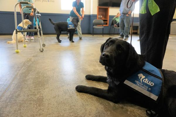 It costs Duo Dogs about $39,000 to train one assistance dog, plus a lot of volunteer hours. The dogs are placed at no cost to the clients.