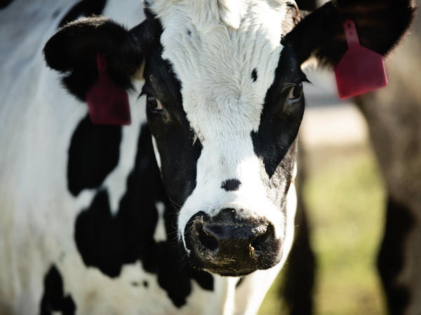 Cows with genes from the human immune system make antibodies that may help people fight the coronavirus.