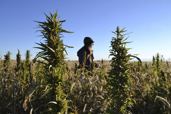 A woman stands in a hemp field at a farm in Springfield, Colo.