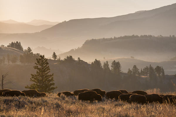 Bison move through the Lamar Valley in Yellowstone National Park on October 14, 2015.