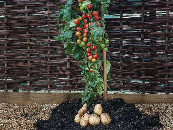 Hand-grafted TomTato plant produces cherry tomatoes on top and white potatoes below.