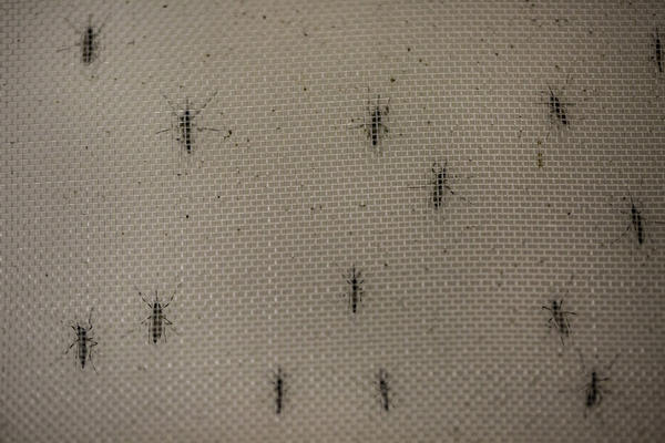 <em>Aedes aegypti</em> mosquitoes infected with the <em>Wolbachia</em> bacterium, which appears to block transmission of dengue fever and other mosquito-borne viruses.
