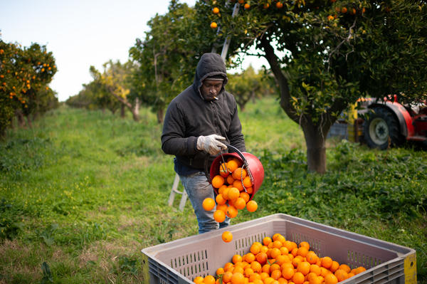 A Senegalese migrant collects oranges on the plain of Rosarno and San Ferdinando in Calabria, Italy, on Feb. 6. The lockdown countries imposed to stop the coronavirus pandemic have cut off the usual flow of seasonal farmworkers.