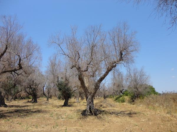 "A deadly bacterium, <em>xylella fastidiosa</em>, has killed millions of olive trees in southern Italy. One of the hardest-hit areas is Lecce province in the Puglia region (pictured here). Xylella, which has no cure, ""is almost like the coronavirus of olive trees,"" says Maria Saponari, a plant virologist at the Institute for Sustainable Plant Protection in Italy."