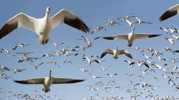 A flock of snow geese takes flight. Science writer Sonia Shah says climate change has impacted the the migration of thousands of species.