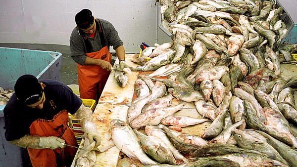Workers fillet fish seafood processing plant in Kodiak, Alaska in 2002. The industry faces an outbreak of COVID-19 just as salmon and pollack fishing seasons are ramping up.