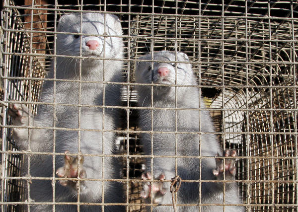Minks at a mink farm.