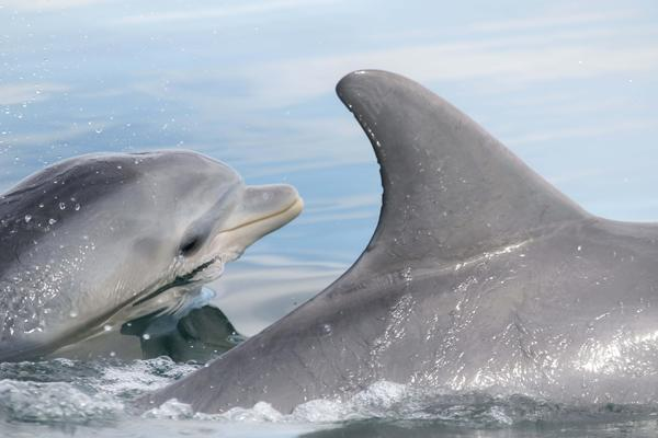 New research shows that dolphins can learn foraging behavior from other dolphins.
