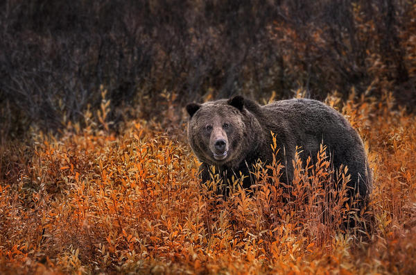 A grizzly bear walks through tall grass.