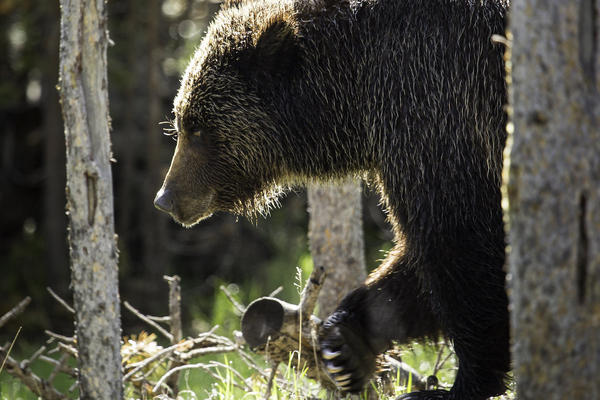 A grizzly bear walks through the trees near Swan Lake in Yellowstone National Park on June 06, 2015.