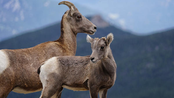 A photo of some bighorn sheep taken on August 30, 2019.