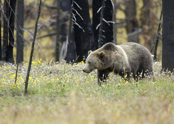 Grizzly bears like this one in Yellowstone National Park won't be a more common sight in Washington's North Cascades since a federal proposal to reintroduce 'the great bear' in the Northwest is on ice.
