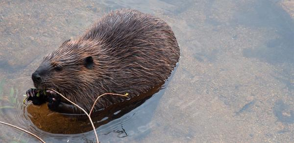 A beaver at Lily Lake in Rocky Mountain National Park.