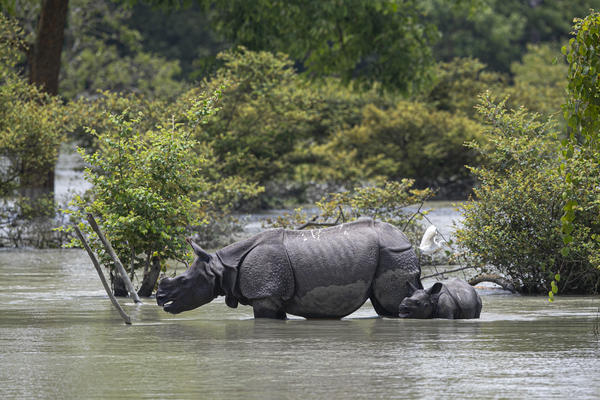 A one-horned rhinoceros and a calf wade through flood water at the Pobitora Wildlife Sanctuary in Assam, India, Thursday. Floods and landslides triggered by heavy monsoon rains have killed dozens of people in this northeastern region. The floods also inundated most of Kaziranga National Park, home to a large concentration of the rare rhino species.