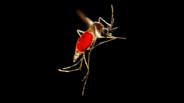 With her blood meal visible through her transparent abdomen, the female <em>Aedes aegypti</em> mosquito takes flight as she leaves her host's skin surface.