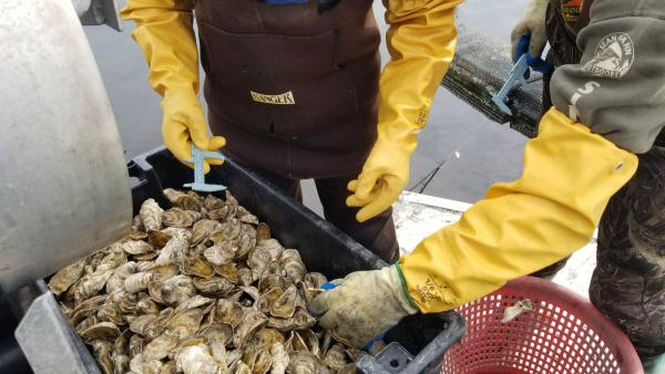 Sorting Stump Sound oysters.