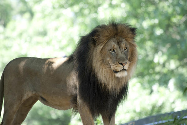 "The Smithsonian's National Zoo in Washington, D.C., is reopening to the public on Friday. ""We haven't seen the cats get superexcited about seeing people, but that's honestly to be expected,"" says curator Craig Saffoe. ""Cats, whether they're your cats at home or giant cats like ours, are cats."" Above, <a href=""https://nationalzoo.si.edu/animals/lion"">Luke, an African lion</a>."