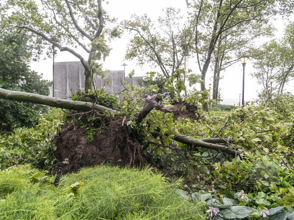 Tropical Storm Isaias downed wires and uprooted trees, like this one in New York City, leaving millions of customers without power in parts of the Mid-Atlantic and Northeast on Wednesday. The governors of Connecticut and New York have each declared a state of emergency and are calling for investigations into state utility companies' response.
