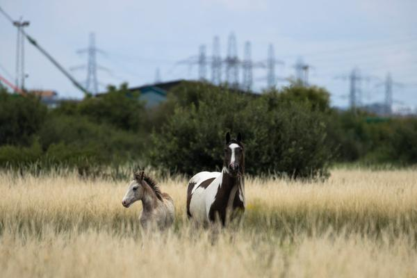 Horses graze on common ground next to the Thames Estuary in Erith, England.