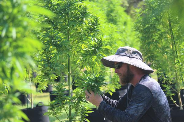 An employee examines a hemp plant at Pur IsoLabs in Bergheim.