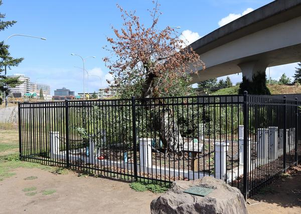The historic Old Apple Tree in Vancouver, Washington, died this summer at age 194.