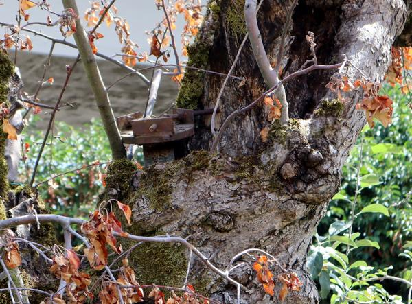 Sharp-eyed observers will notice an old car axle sticking out of the hollow trunk of the historic Old Apple Tree. It was used to prop up the leaning tree in the 1950s.