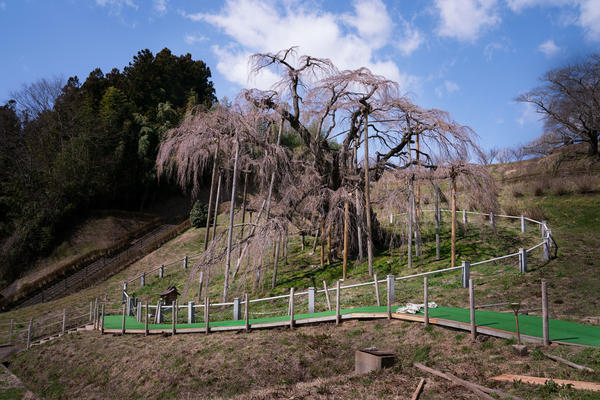 The ancient Takizakura cherry tree, in Miharu, Japan, in March, just days before bursting into bloom. A pathway for tourists at the base of the tree will see less use this year, due to the coronavirus pandemic.