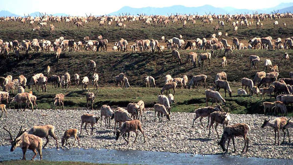 Caribou from the Porcupine caribou herd are seen migrating onto the coastal plain of the Arctic National Wildlife Refuge in northeast Alaska. The Interior Department hopes to conduct a lease sale for oil and gas drilling in the coastal plain by the end of 2020.