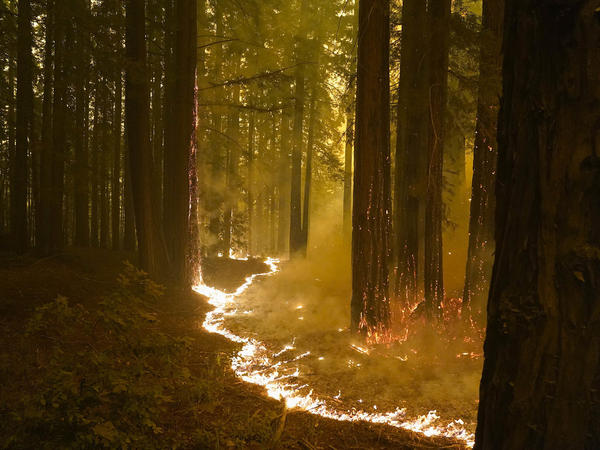 A redwood forest caught in the CZU Lightning Complex Fire on the Northern California coast.
