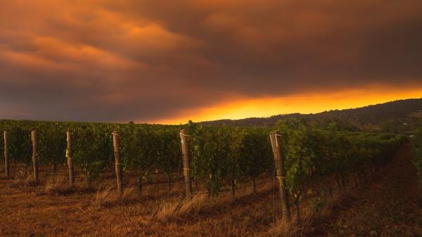 Rows of pinot noir grapevines sit under a blanket of dense smoke from wildfires last week in Oregon's Arlyn Vineyard.