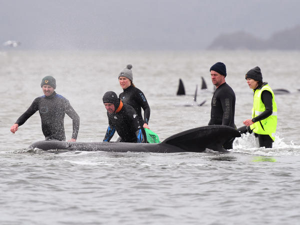 Members of a rescue crew work to free a whale from a sandbar off the coast of Tasmania, Australia, on Tuesday. About 380 pilot whales have died in the mass stranding, one of the largest ever recorded.
