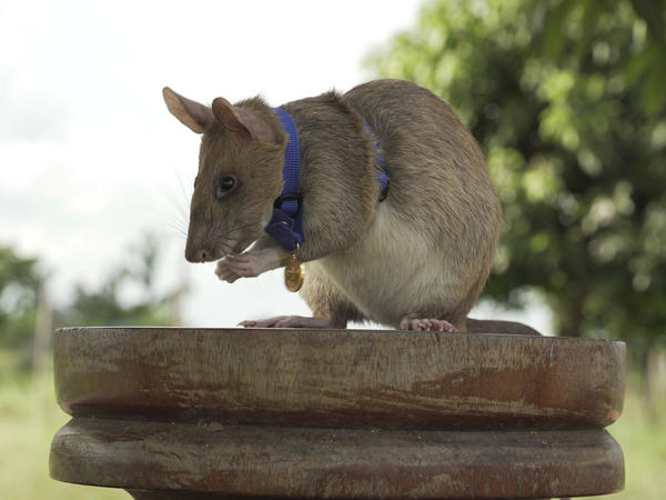 Magawa, a rat that has been trained to detect explosives, was awarded the PDSA Gold Medal on Friday for bravery in searching out unexploded land mines in Cambodia.