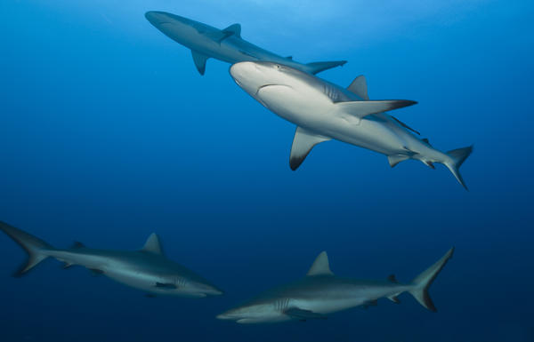 Grey reef sharks, seen in Fiji, are among the top species of sharks fished for their liver oil.