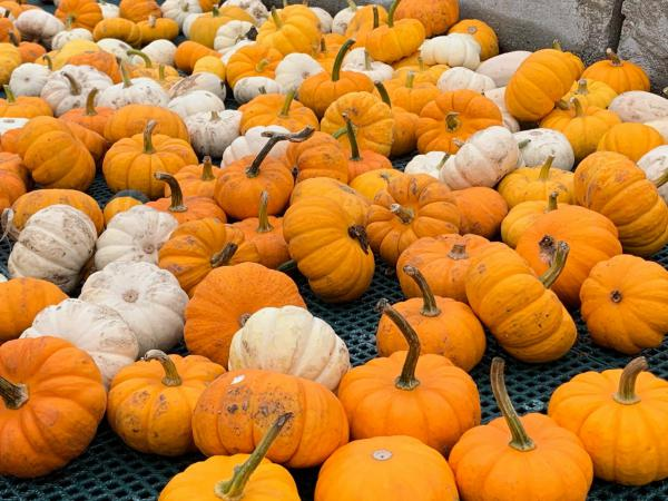 Good pumpkin production and favorable weather have translated into a busy fall season for Ackerman Family Farms in Morton.