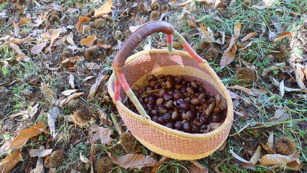 Amigo Bob Cantisano and his partners believe these chestnuts come from a <em>Marron de Lyon</em> tree, originally from France. He thinks the tree was one of many varieties of fruit, grape and nut plants introduced into California by Felix Gillet, a French nurseryman, in the late 1800s.