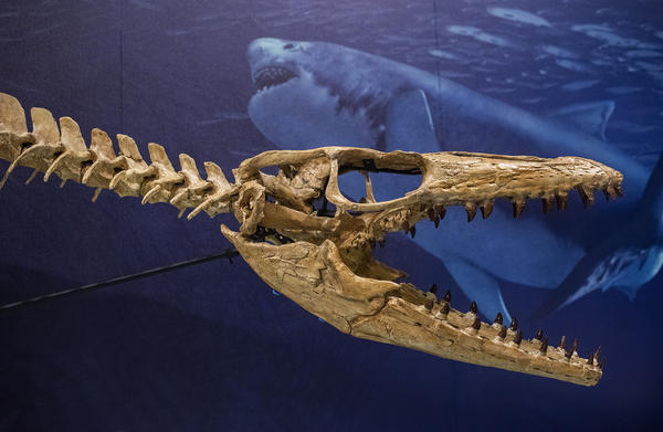 The skull of a mosasaur, one segment of a full-scale reconstruction, is displayed in front of a mural painted by natural history artist Karen Carr, depicting the mosasaur's underwater environment.