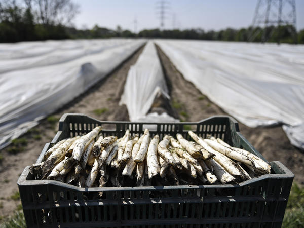 Fresh asparagus has been gathered in Bottrop, Germany, in mid-April. Farms across Europe are facing a labor shortage as a result of closed borders because of the coronavirus pandemic.