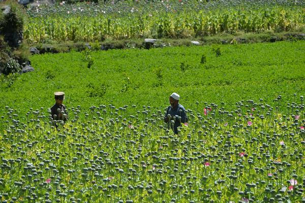 Farmers harvest opium sap from a poppy field in the Nangarhar province of Afghanistan on May 10. The country is the world's biggest heroin supplier, but a U.N. report found a shortage of field workers there because of the coronavirus.