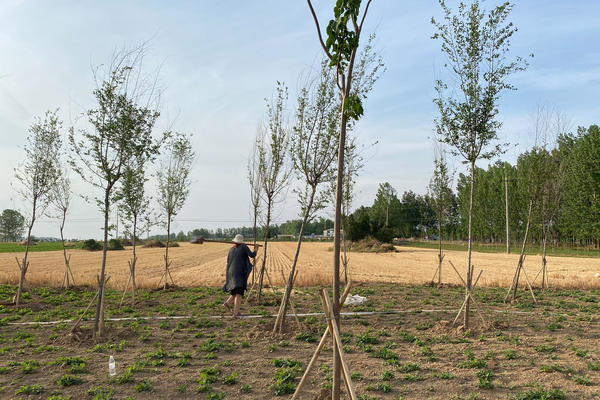 Seasonal agricultural workers plant peanuts next to wheat fields in China's Henan province. With tens of millions of urban and factory jobs lost, many of the newly unemployed have returned to their rural villages.