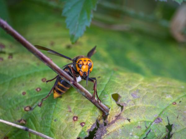 Washington State Department of Agriculture entomologists used radio trackers to find a nest of invasive Asian giant hornets in the cavity of a tree. The state now plans to destroy the nest.