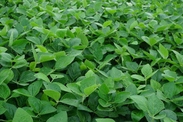 Soybeans like these in central Missouri are often treated with dicamba.
