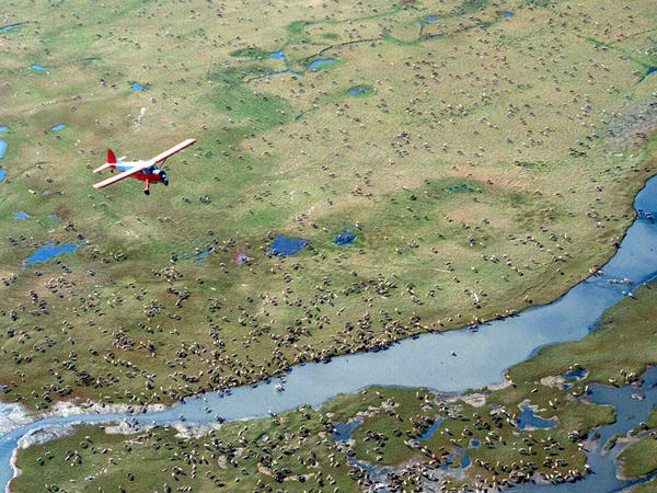 An airplane flies over caribou on the coastal plain of Alaska's Arctic National Wildlife Refuge, where the Trump administration is moving to sell leases for oil drilling.