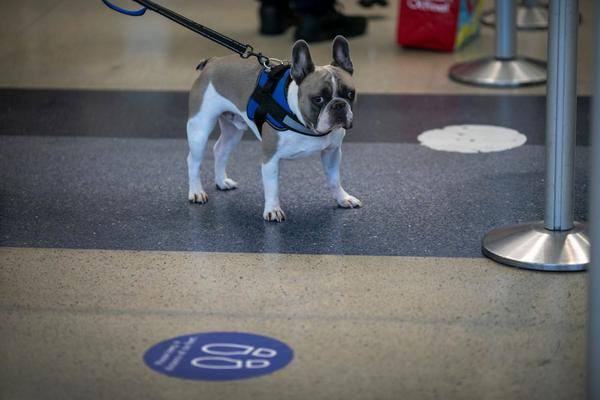 A dog stands near social distancing floor signage as holiday travelers pass through Los Angeles international Airport on Thanksgiving eve as the COVID-19 spike worsens and stay-at-home restrictions are increased on November 25, 2020 in West Hollywood, California.