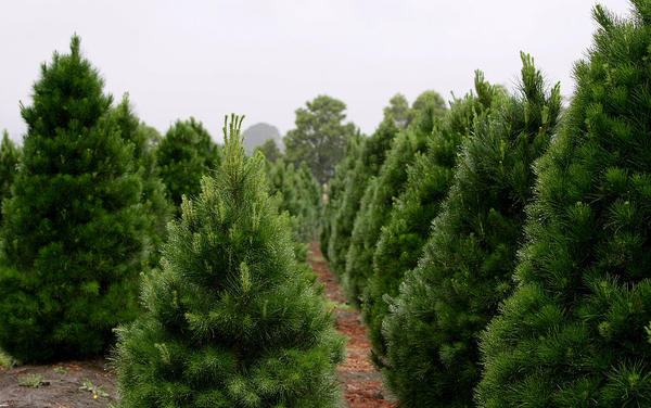 Christmas tree growers are reporting that 2019 has been the best year they've had in decades. (Robert Cianflone/Getty Images)