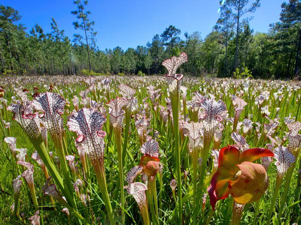 "A field of pitcher plants are nestled in a bog within the Mobile-Tensaw Delta. Ben Raines calls pitcher plants ""carnivorous wonders"" because they draw most of their nutrients from insects they kill and digest."