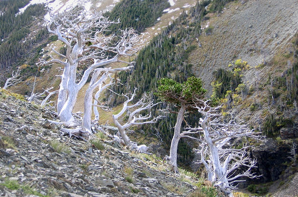 Whitebark pine at high elevations in Glacier National Park. In recent years, the whitebark pine has declined by more than 50 percent.