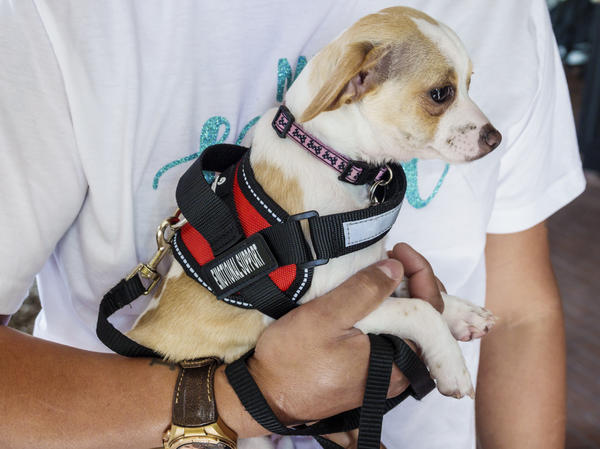 Under a new rule issued last week by the Transportation Department, only dogs that meet strict service animal standards will be allowed to fly with passengers.