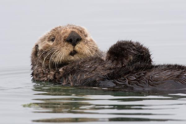 A sea otter preens itself in Morro Bay, California. Sea otters have not naturally repopulated to the Oregon Coast from California or Washington, so a reintroduction effort is now being studied.