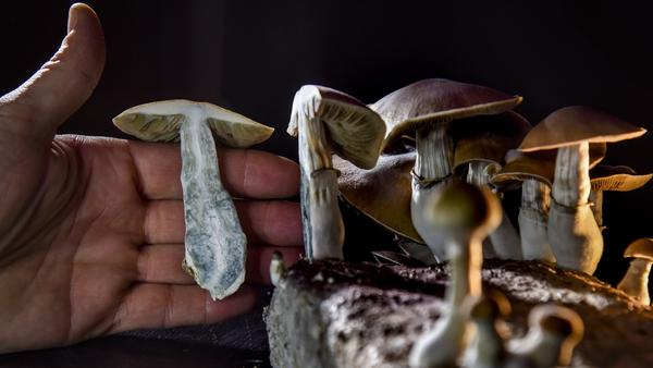 """A Washington, D.C., resident has an operation growing psilocybin mushrooms. With the legalization of marijuana, advocates in several states, including Oregon, have pushed for the legalization of other drugs such as """"magic mushrooms."""""""